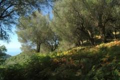 Bouwkavel met vele honderden jaren oude olijfbomen.