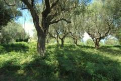 Bouwperceel met veel oude oliijbomen (2)