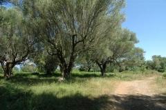Bouwperceel met veel oude oliijbomen (3)