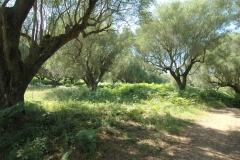 Bouwperceel met veel oude oliijbomen