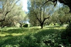 Grote olijfboomgaard (2)