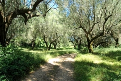 Grote olijfboomgaard (3)