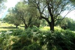 Grote olijfboomgaard (4)