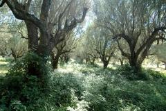 Grote olijfboomgaard