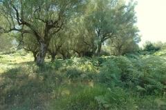 Olijfboomgaard in Cilento