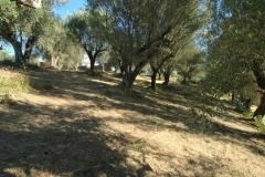 Bouwgrond met olijfboomgaard