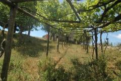 Druivenranken-in-uw-tuin