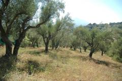 bouwkavel in olijfboomgaard in Zuid-Italië