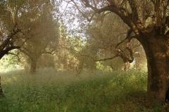 Olijfboomgaard-met-oude-olijfbomen