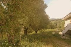 Olijfboomgaard-met-zeer-oude-olijfbomen-